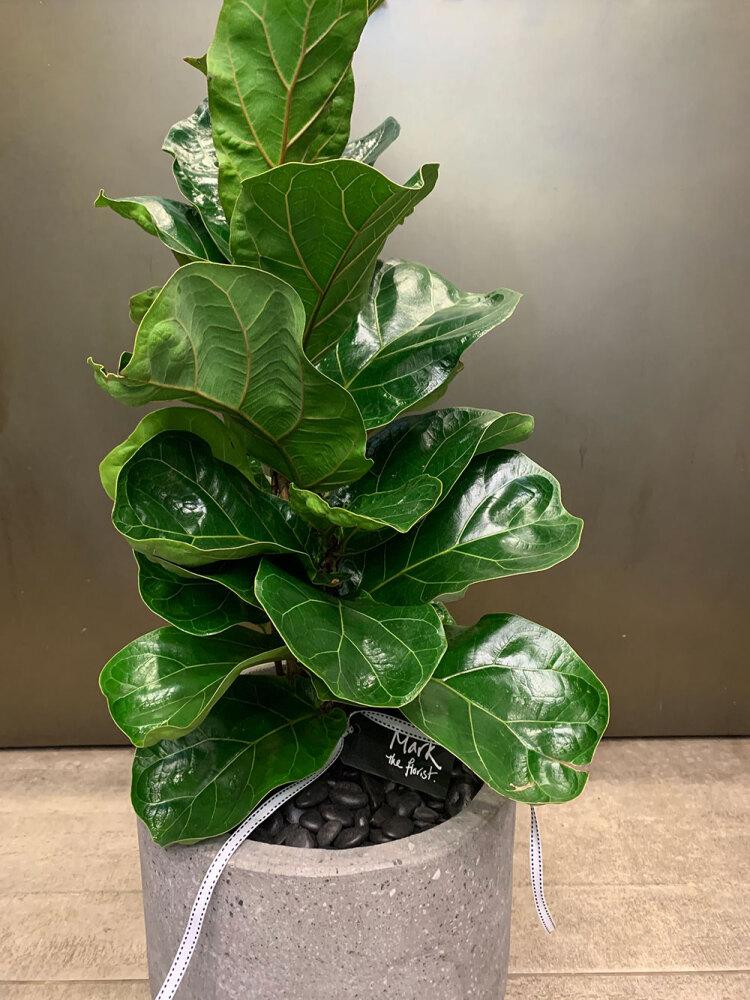 Fiddle Leaf Fig presented in ceramic pot