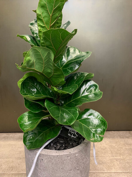 Fiddle Leaf Fig presented in ceramic pot